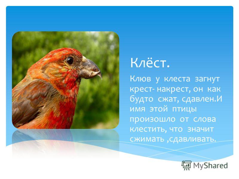 Клёст. Клюв у клеста загнут крест- накрест, он как будто сжат, сдавлен.И имя этой птицы произошло от слова клестить, что значит сжимать,сдавливать.