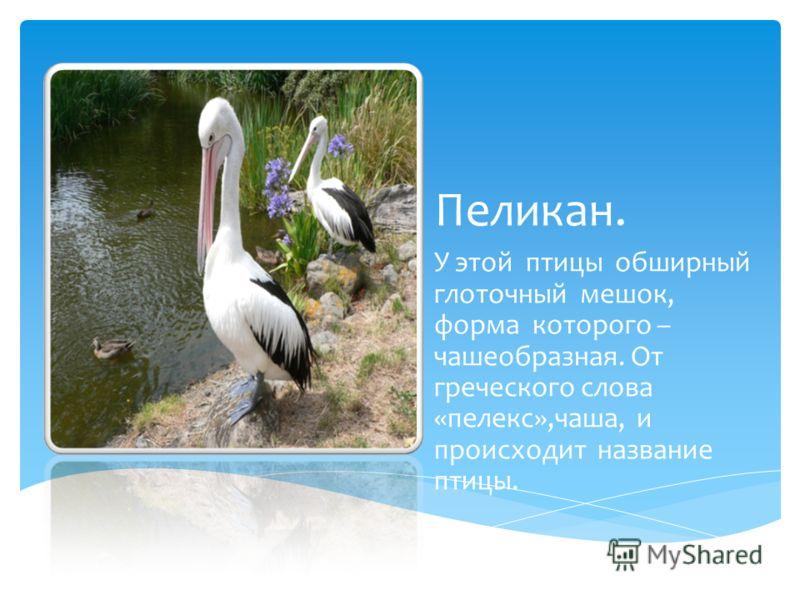 Пеликан. У этой птицы обширный глоточный мешок, форма которого – чашеобразная. От греческого слова «пелекс»,чаша, и происходит название птицы.