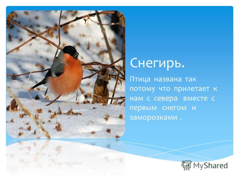 Снегирь. Птица названа так потому что прилетает к нам с севера вместе с первым снегом и заморозками.