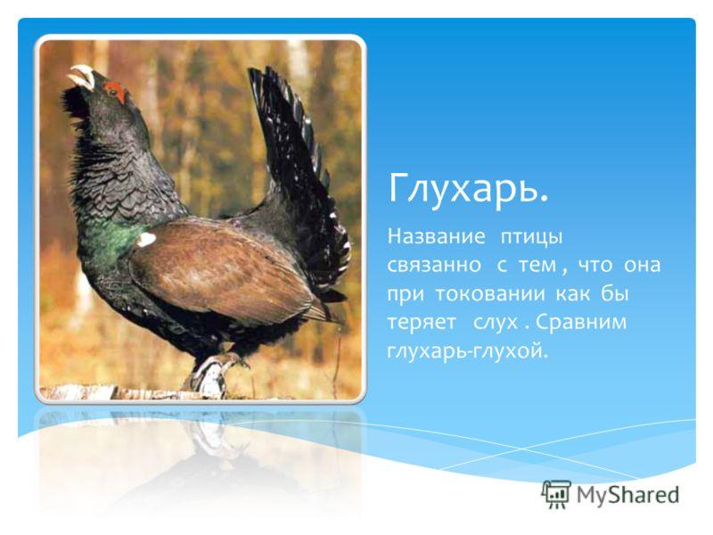 Глухарь. Название птицы связанно с тем, что она при токовании как бы теряет слух. Сравним глухарь-глухой.