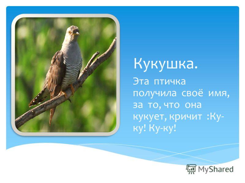Кукушка. Эта птичка получила своё имя, за то, что она кукует, кричит :Ку- ку! Ку-ку!
