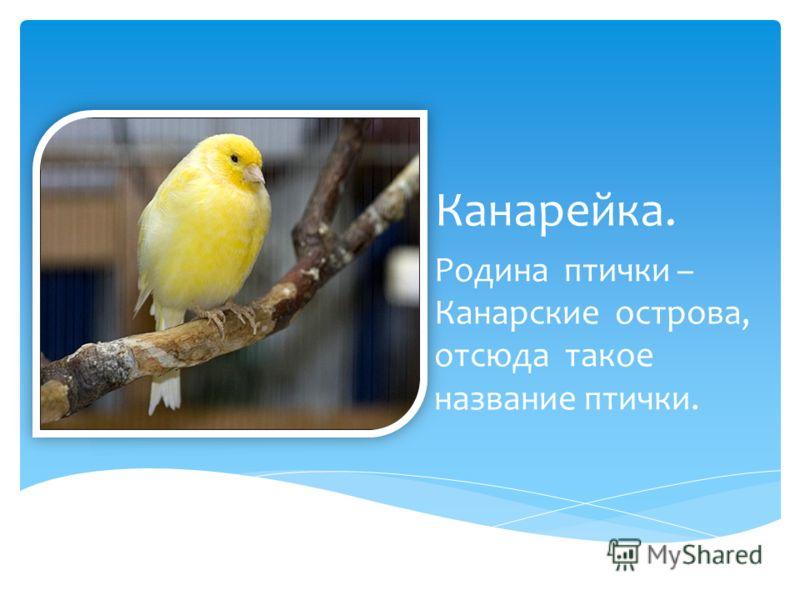 Канарейка. Родина птички – Канарские острова, отсюда такое название птички.
