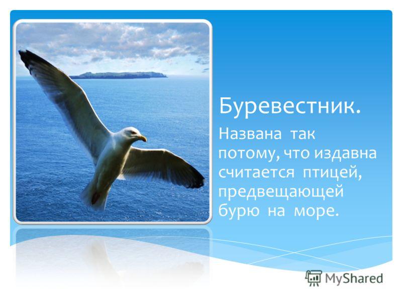Буревестник. Названа так потому, что издавна считается птицей, предвещающей бурю на море.