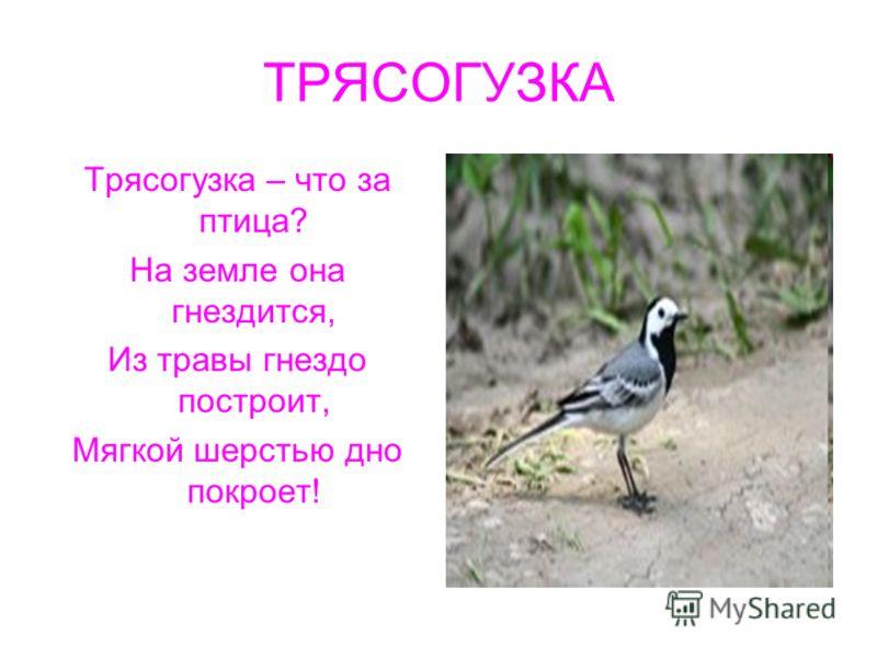 ТРЯСОГУЗКА Трясогузка – что за птица? На земле она гнездится, Из травы гнездо построит, Мягкой шерстью дно покроет!