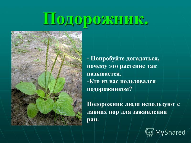 Подорожник. - Попробуйте догадаться, почему это растение так называется. -Кто из вас пользовался подорожником? Подорожник люди используют с давних пор для заживления ран.