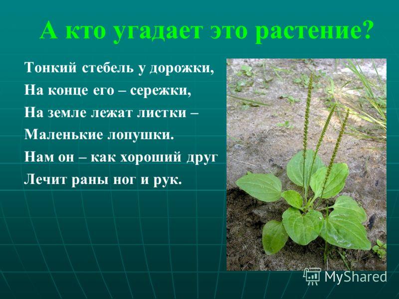 А кто угадает это растение? Тонкий стебель у дорожки, На конце его – сережки, На земле лежат листки – Маленькие лопушки. Нам он – как хороший друг Лечит раны ног и рук.