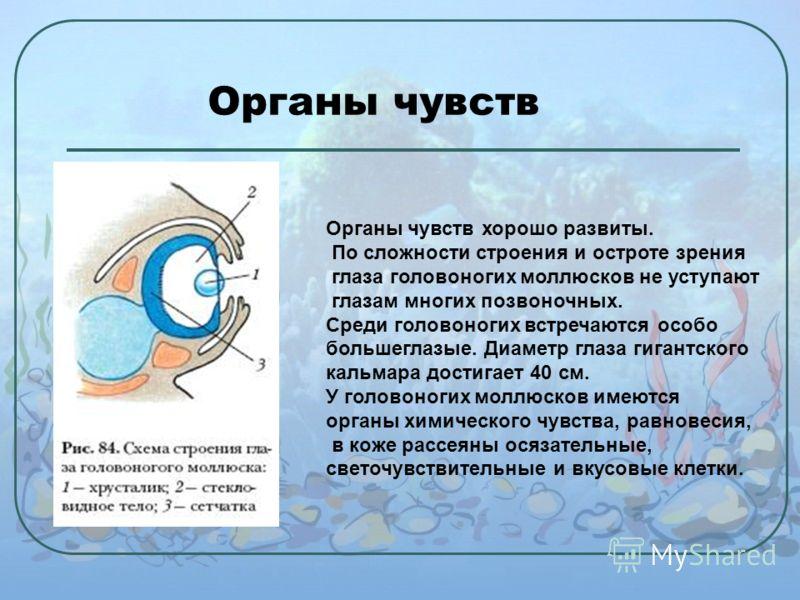 Органы чувств Органы чувств хорошо развиты. По сложности строения и остроте зрения глаза головоногих моллюсков не уступают глазам многих позвоночных. Среди головоногих встречаются особо большеглазые. Диаметр глаза гигантского кальмара достигает 40 см