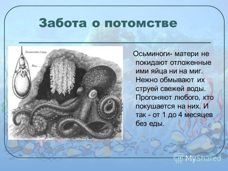 Забота о потомстве Осьминоги- матери не покидают отложенные ими яйца ни на миг. Нежно обмывают их струей свежей воды. Прогоняют любого, кто покушается на них. И так - от 1 до 4 месяцев без еды.