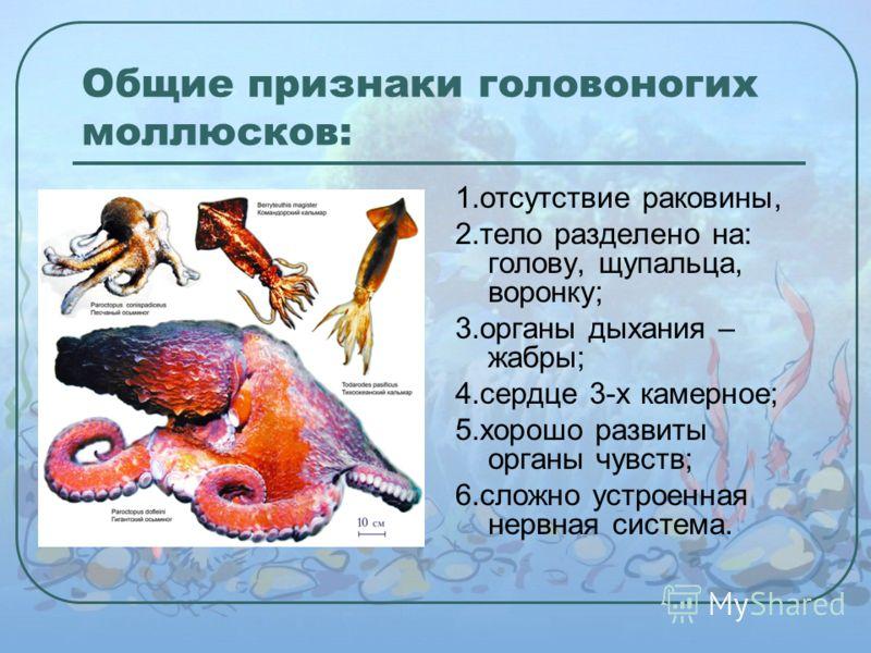 Общие признаки головоногих моллюсков: 1.отсутствие раковины, 2.тело разделено на: голову, щупальца, воронку; 3.органы дыхания – жабры; 4.сердце 3-х камерное; 5.хорошо развиты органы чувств; 6.сложно устроенная нервная система.