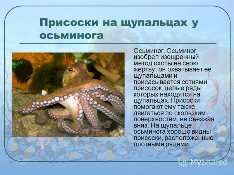 Присоски на щупальцах у осьминога Осьминог. Осьминог изобрел изощренный метод охоты на свою жертву: он охватывает ее щупальцами и присасывается сотнями присосок, целые ряды которых находятся на щупальцах. Присоски помогают ему также двигаться по скол