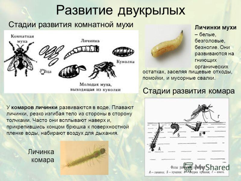 Развитие двукрылых Стадии развития комнатной мухи Стадии развития комара У комаров личинки развиваются в воде. Плавают личинки, резко изгибая тело из стороны в сторону толчками. Часто они всплывают наверх и, прикрепившись концом брюшка к поверхностно