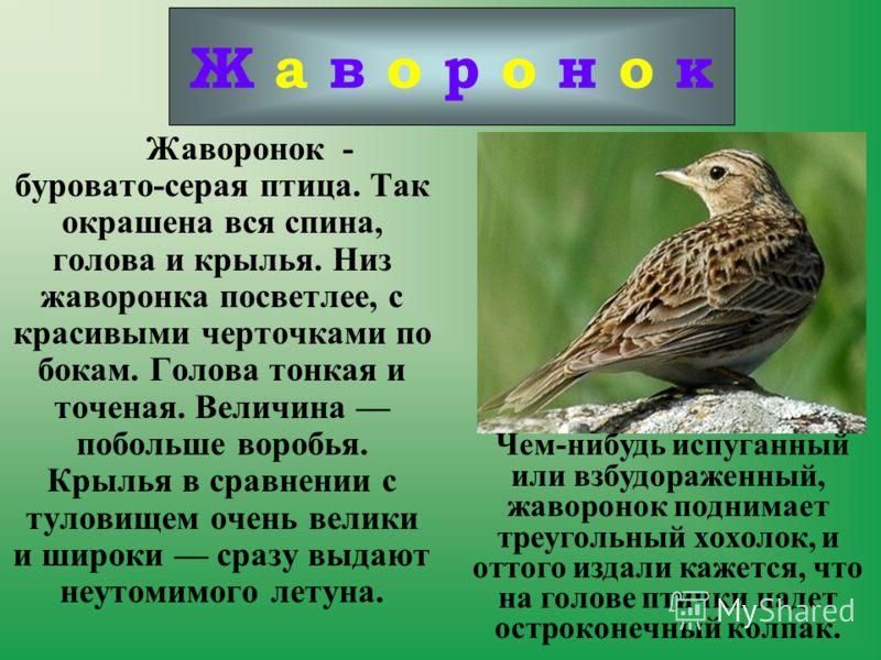 Жаворонок - буровато-серая птица. Так окрашена вся спина, голова и крылья. Низ жаворонка посветлее, с красивыми черточками по бокам. Голова тонкая и точеная. Величина побольше воробья. Крылья в сравнении с туловищем очень велики и широки сразу выдают