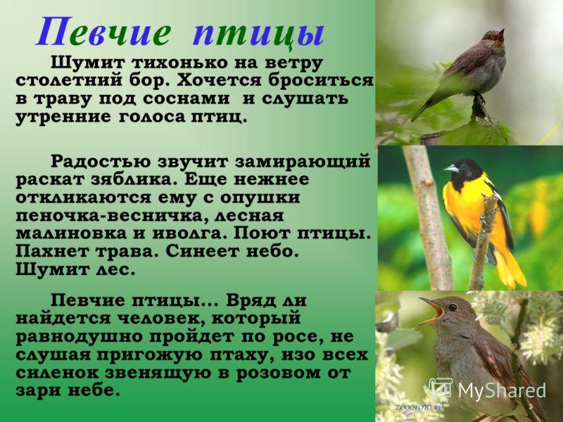 Певчие птицы Шумит тихонько на ветру столетний бор. Хочется броситься в траву под соснами и слушать утренние голоса птиц. Радостью звучит замирающий раскат зяблика. Еще нежнее откликаются ему с опушки пеночка-весничка, лесная малиновка и иволга. Поют