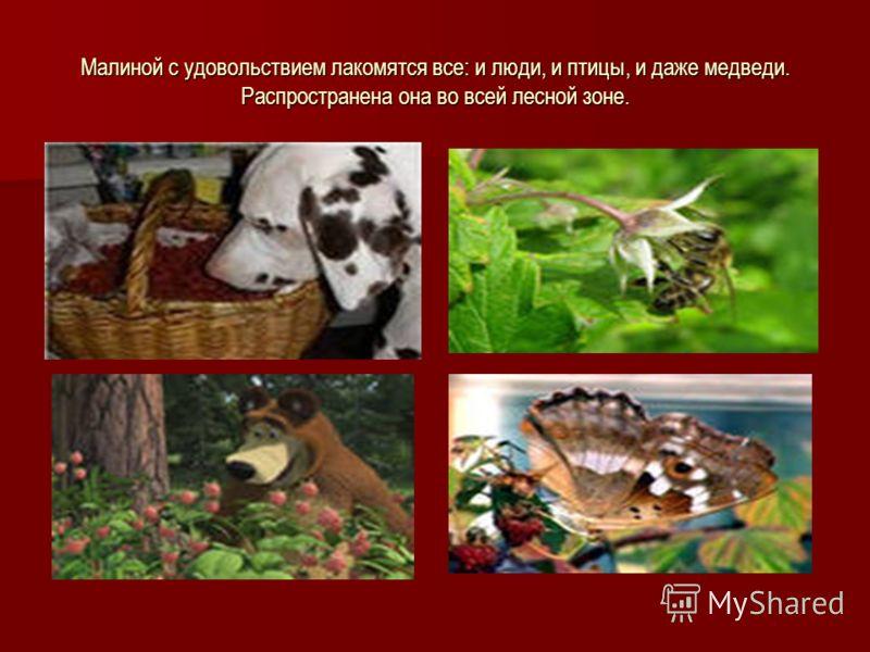 Малиной с удовольствием лакомятся все: и люди, и птицы, и даже медведи. Распространена она во всей лесной зоне.