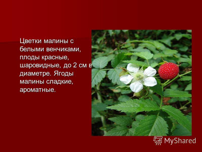 Цветки малины с белыми венчиками, плоды красные, шаровидные, до 2 см в диаметре. Ягоды малины сладкие, ароматные.