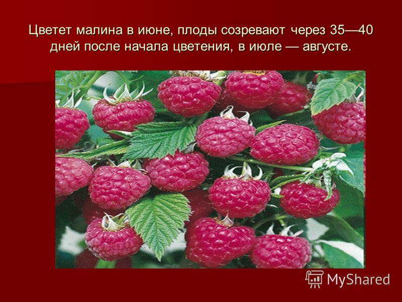 Цветет малина в июне, плоды созревают через 3540 дней после начала цветения, в июле августе.