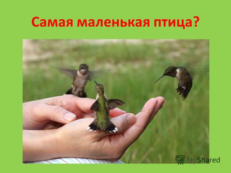 Самая маленькая птица?