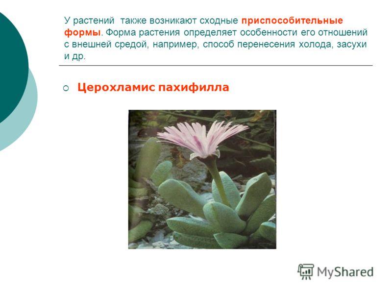 У растений также возникают сходные приспособительные формы. Форма растения определяет особенности его отношений с внешней средой, например, способ перенесения холода, засухи и др. Церохламис пахифилла