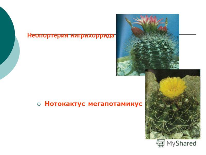 Неопортерия нигрихоррида Нотокактус мегапотамикус