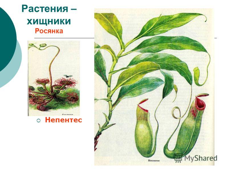 Растения – хищники Росянка Непентес