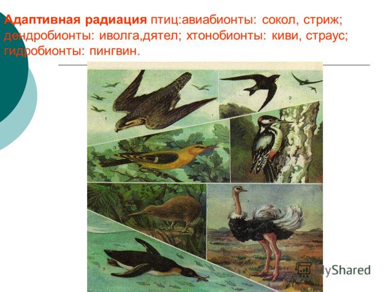 Адаптивная радиация птиц:авиабионты: сокол, стриж; дендробионты: иволга,дятел; хтонобионты: киви, страус; гидробионты: пингвин.