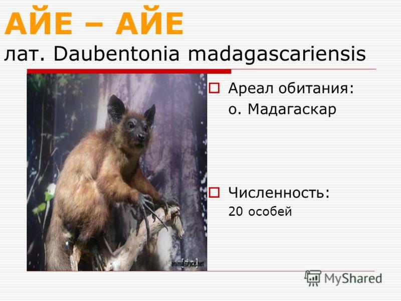 АЙЕ – АЙЕ лат. Daubentonia madagascariensis Ареал обитания: о. Мадагаскар Численность: 20 особей