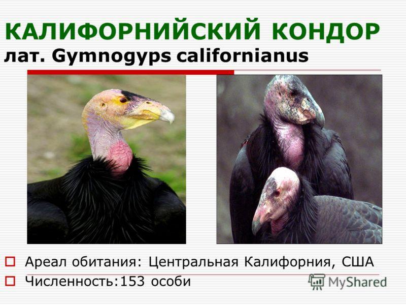 КАЛИФОРНИЙСКИЙ КОНДОР лат. Gymnogyps californianus Ареал обитания: Центральная Калифорния, США Численность:153 особи