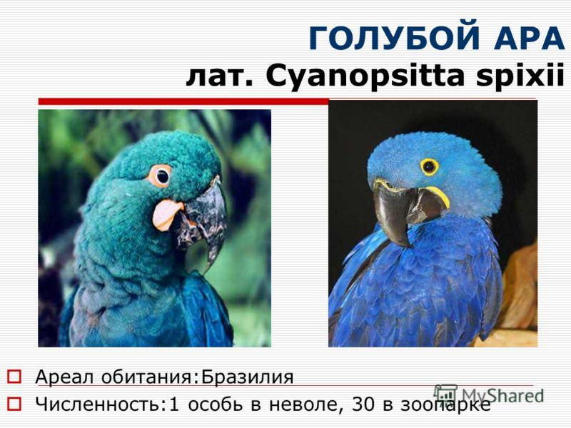 ГОЛУБОЙ АРА лат. Cyanopsitta spixii Ареал обитания:Бразилия Численность:1 особь в неволе, 30 в зоопарке