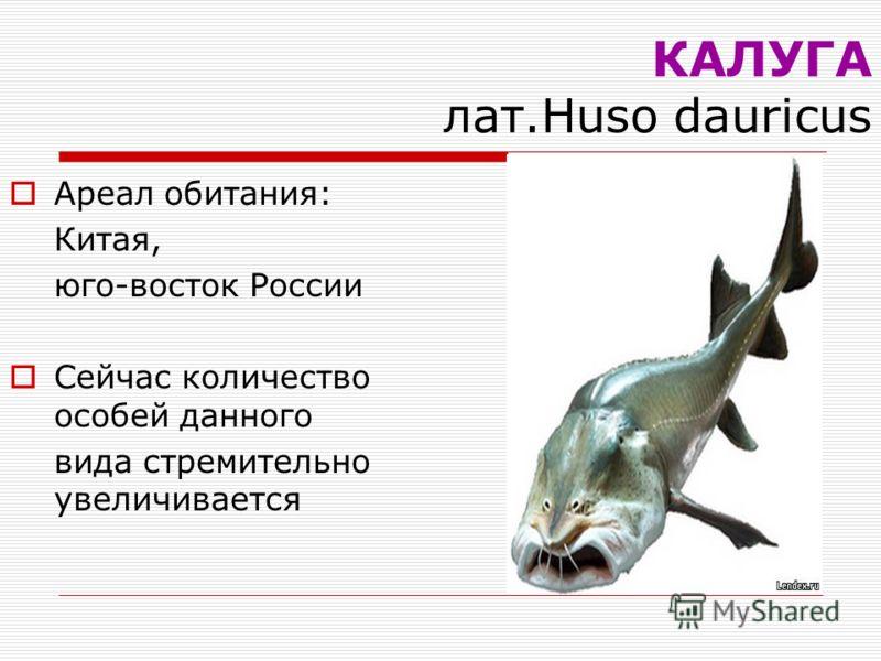 КАЛУГА лат.Huso dauricus Ареал обитания: Китая, юго-восток России Сейчас количество особей данного вида стремительно увеличивается