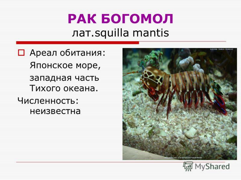 РАК БОГОМОЛ лат.squilla mantis Ареал обитания: Японское море, западная часть Тихого океана. Численность: неизвестна
