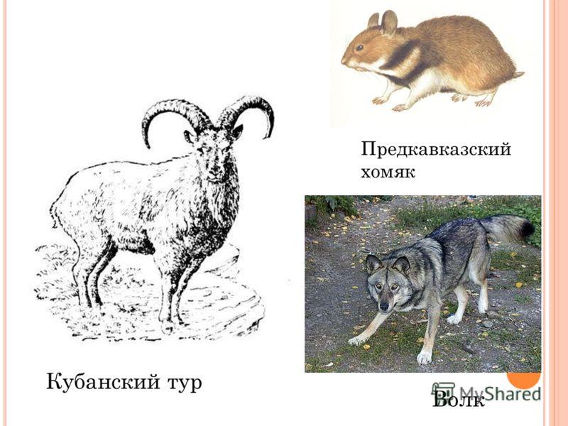 Кубанский тур Предкавказский хомяк Волк