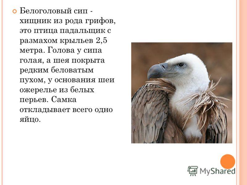 Белоголовый сип - хищник из рода грифов, это птица падальщик с размахом крыльев 2,5 метра. Голова у сипа голая, а шея покрыта редким беловатым пухом, у основания шеи ожерелье из белых перьев. Самка откладывает всего одно яйцо.