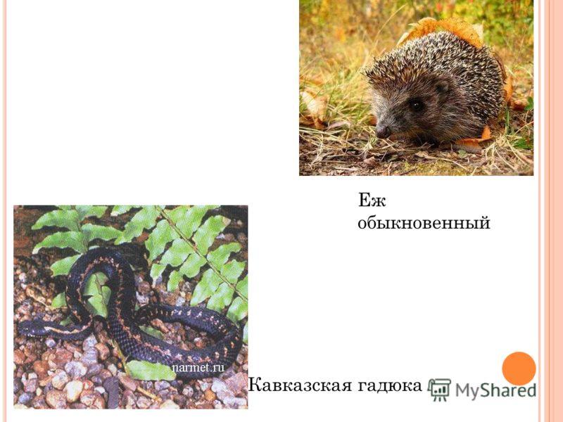 Еж обыкновенный Кавказская гадюка