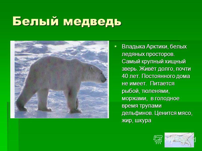Белый медведь Владыка Арктики, белых ледяных просторов. Самый крупный хищный зверь. Живёт долго, почти 40 лет. Постоянного дома не имеет. Питается рыбой, тюленями, моржами, в голодное время трупами дельфинов. Ценится мясо, жир, шкура Владыка Арктики,