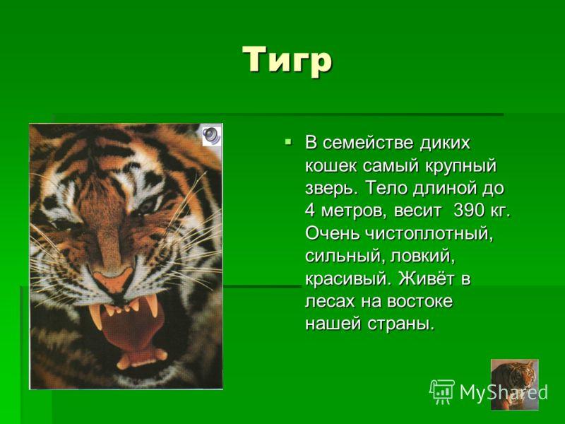 Тигр В семействе диких кошек самый крупный зверь. Тело длиной до 4 метров, весит 390 кг. Очень чистоплотный, сильный, ловкий, красивый. Живёт в лесах на востоке нашей страны. В семействе диких кошек самый крупный зверь. Тело длиной до 4 метров, весит