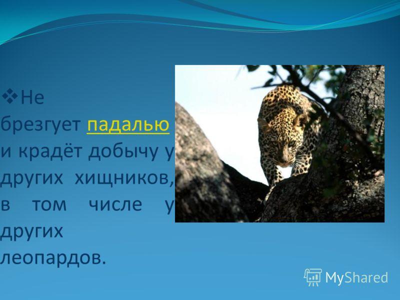 Не брезгует падалью и крадёт добычу у других хищников, в том числе у других леопардов.падалью