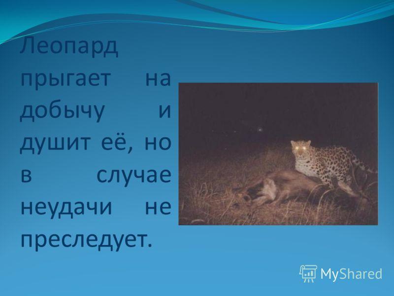 Леопард прыгает на добычу и душит её, но в случае неудачи не преследует.