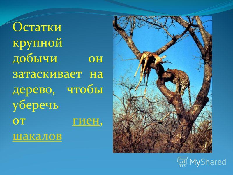 Остатки крупной добычи он затаскивает на дерево, чтобы уберечь от гиен, шакалов гиен шакалов