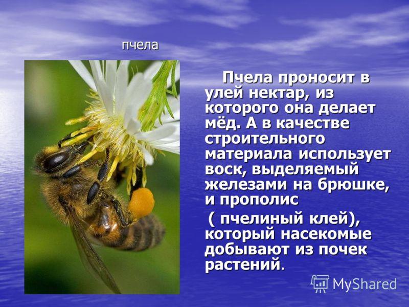 пчела Пчела проносит в улей нектар, из которого она делает мёд. А в качестве строительного материала использует воск, выделяемый железами на брюшке, и прополис Пчела проносит в улей нектар, из которого она делает мёд. А в качестве строительного матер