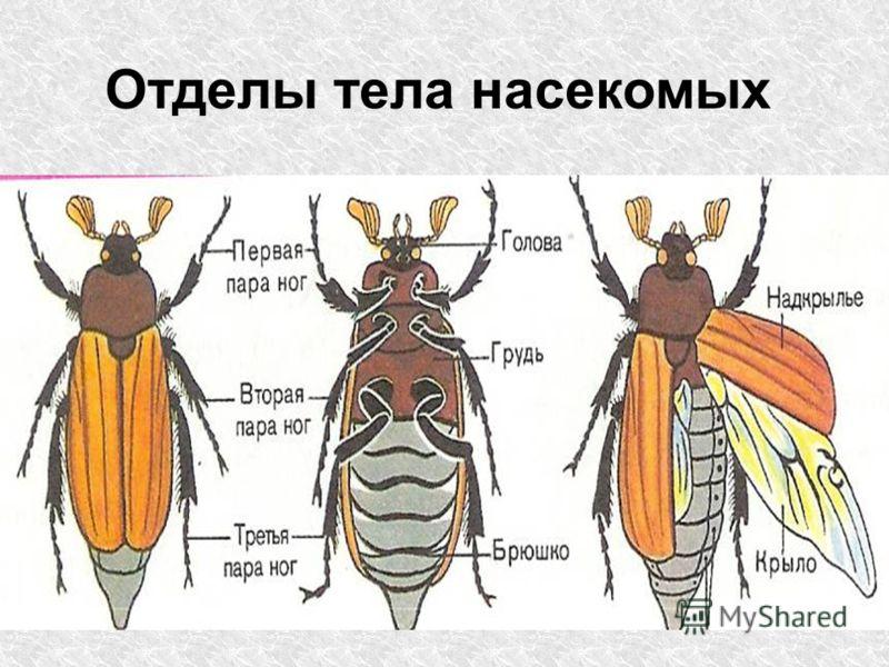 Отделы тела насекомых