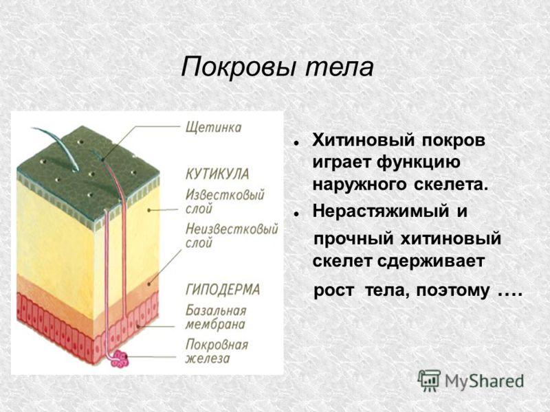 Покровы тела Хитиновый покров играет функцию наружного скелета. Нерастяжимый и прочный хитиновый скелет сдерживает рост тела, поэтому ….