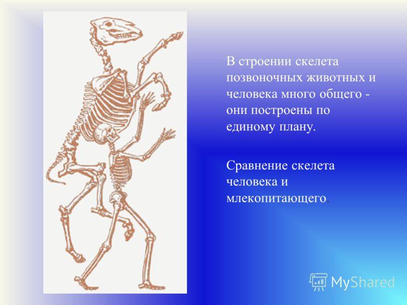 В строении скелета позвоночных животных и человека много общего - они построены по единому плану. Сравнение скелета человека и млекопитающего.