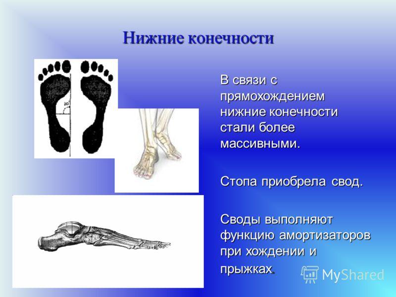 Нижние конечности В связи с прямохождением нижние конечности стали более массивными. Стопа приобрела свод. Своды выполняют функцию амортизаторов при х