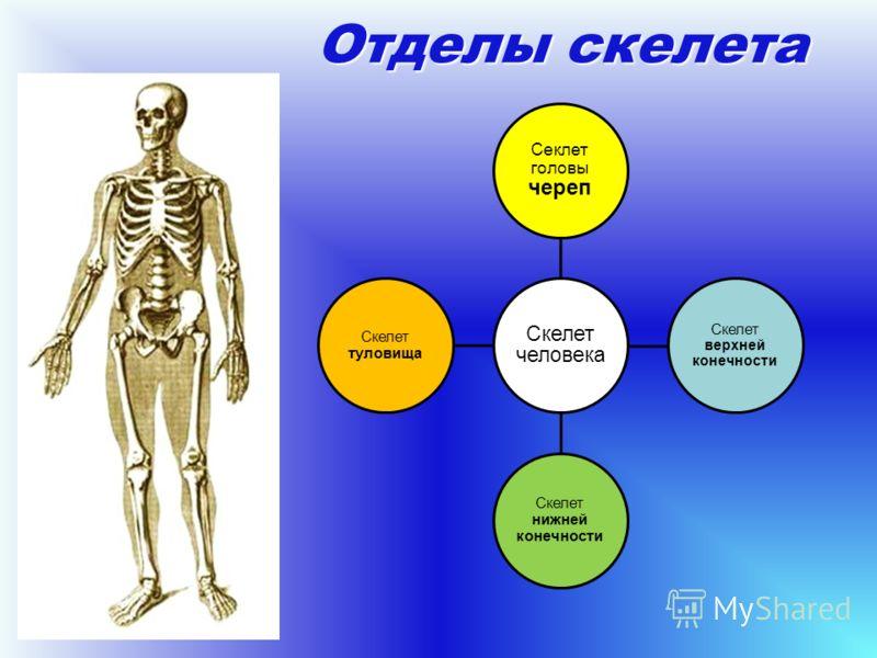 Отделы скелета Скелет человека Секлет головы череп Скелет верхней конечности Скелет нижней конечности Скелет туловища