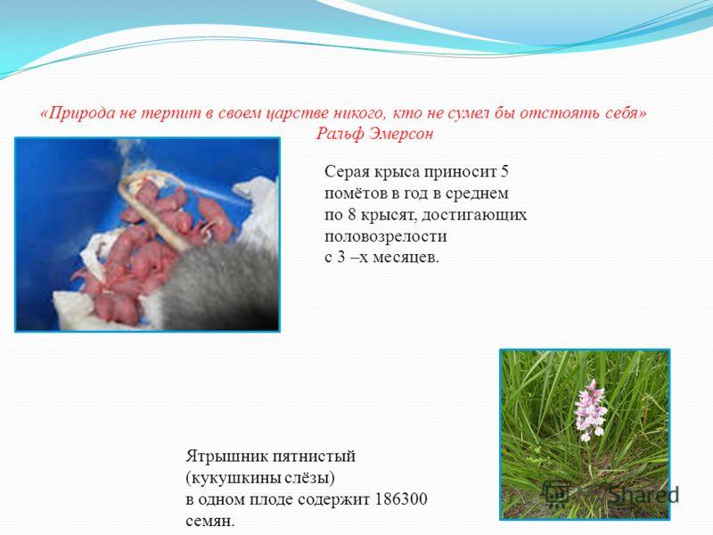 Серая крыса приносит 5 помётов в год в среднем по 8 крысят, достигающих половозрелости с 3 –х месяцев. Ятрышник пятнистый (кукушкины слёзы) в одном плоде содержит 186300 семян.