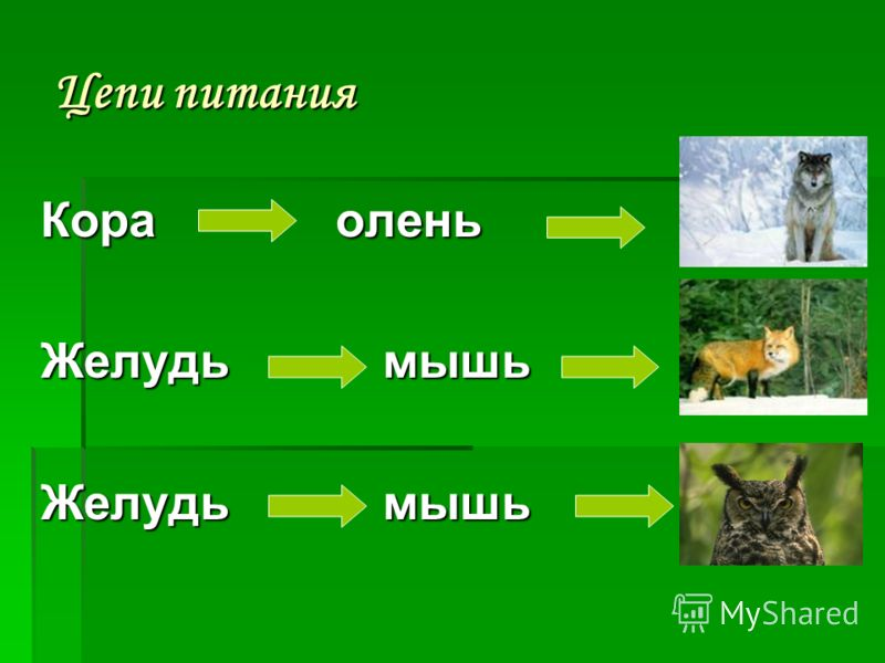 цепи питания смешанных лесов 4