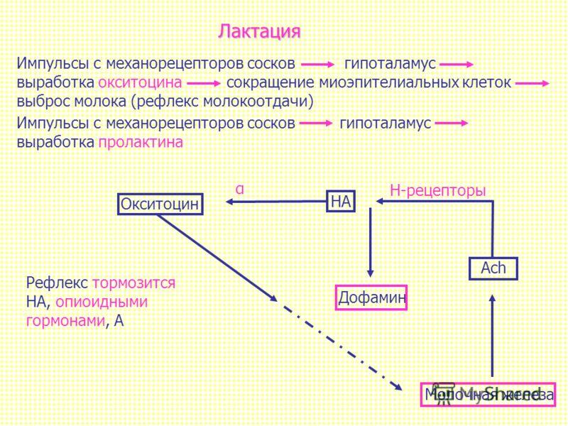 Лактация Импульсы с механорецепторов сосков гипоталамус выработка окситоцина сокращение миоэпителиальных клеток выброс молока (рефлекс молокоотдачи) Молочная железа Дофамин α Рефлекс тормозится НА, опиоидными гормонами, А Н-рецепторы Ach НА Окситоцин