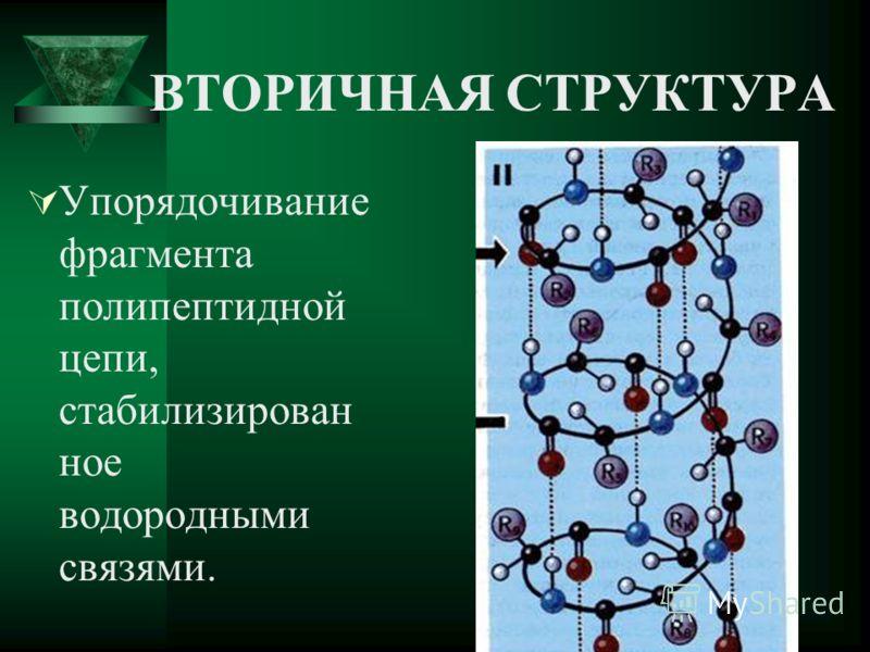 ВТОРИЧНАЯ СТРУКТУРА Упорядочивание фрагмента полипептидной цепи, стабилизирован ное водородными связями.