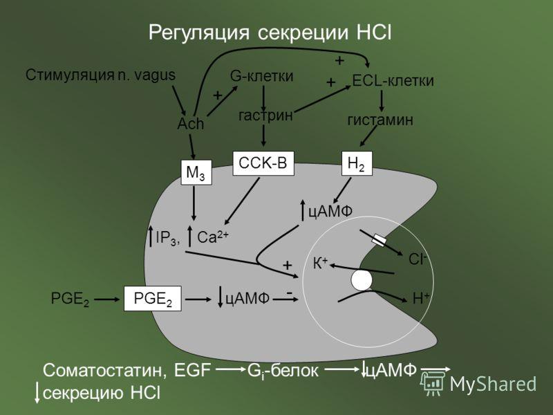 Стимуляция n. vagus Ach Регуляция секреции HCl M3M3 CCK-BH2H2 IP 3, Ca 2+ G-клетки гастрин + ECL-клетки + гистамин цАМФ К+К+ Н+Н+ Сl-Сl- + + PGE 2 цАМФ - Соматостатин, EGF G i -белок цАМФ секрецию HCl