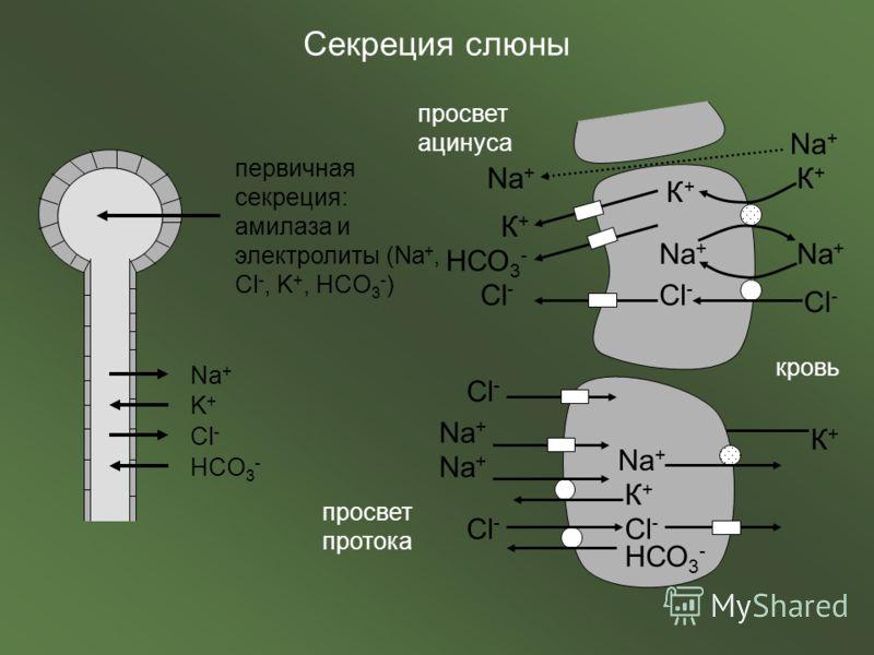 первичная секреция: амилаза и электролиты (Na +, Cl -, K +, НCO 3 - ) Na + K+K+ Cl - HCO 3 - Na + Cl - К+К+ К+К+ НСО 3 - просвет ацинуса просвет протока кровь К+К+ К+К+ Na + Cl - Na + Cl - Na + К+К+ Cl - НСО 3 -